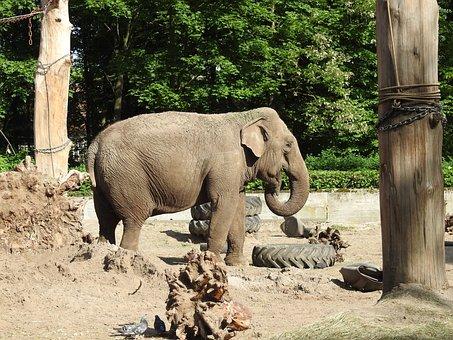 Elephant, Zoo, Proboscis, Large Mammal, Africa