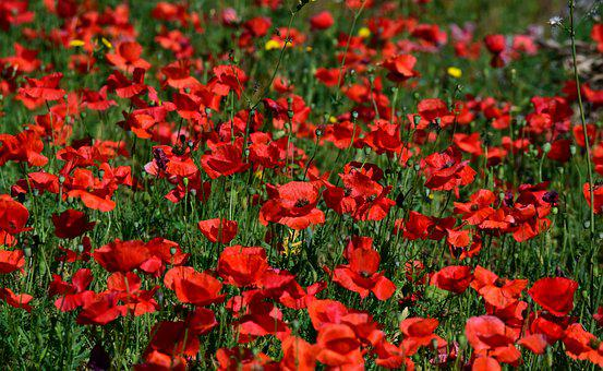 Poppy, Field Of Poppies, Red, Nature, Red Poppy