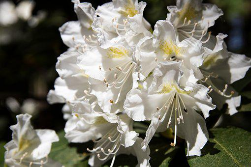 Rhododendron, Blossom, Bloom, White, Bush