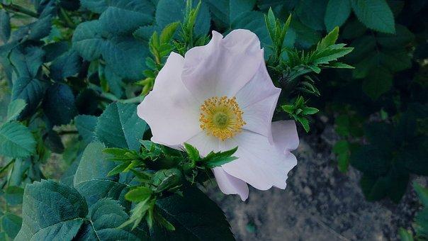 Rose, Pink, Rose Bush, Rose Petals, Rubella, Roses
