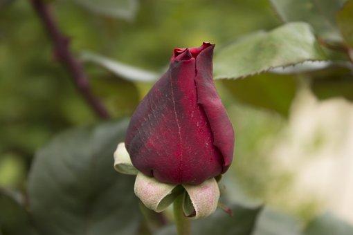 Rose, Red, Red Roses, Flower, Red Rose