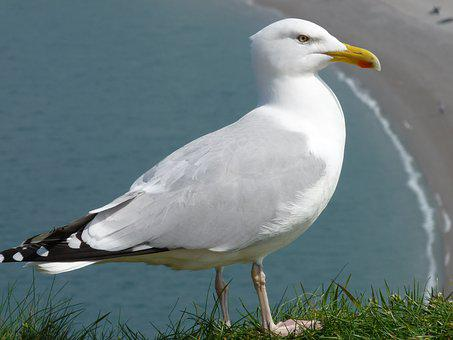 Gull, Seabird
