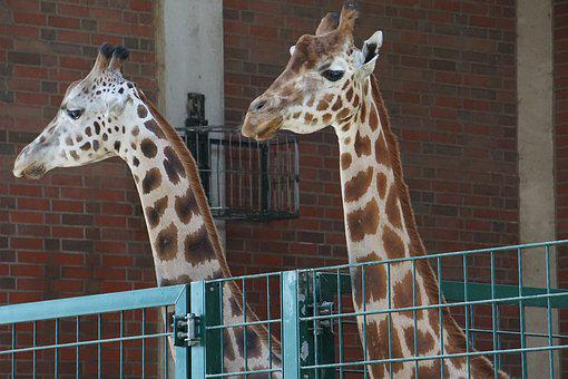 Giraffes, Zoo, Animal, Africa, Flock, Safari, Serengeti