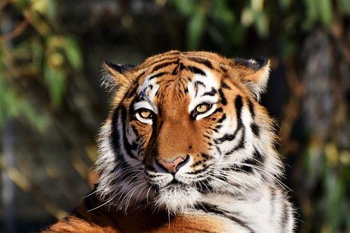 Tiger, Siberian Tiger, Tiger Head, Big Cat, Predator