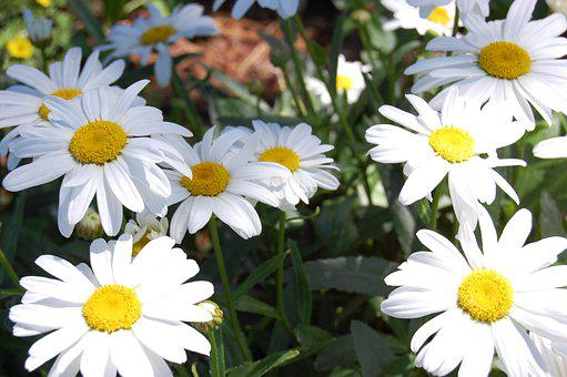 Daises, Flowers, Spring, Blooming, Natural, Plant