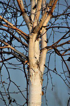 Tree, Birch, Branches