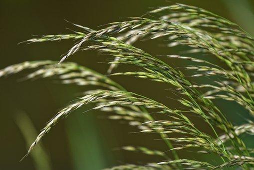 Grass, Plant, Vegetation, Stalk, Grain, Seed