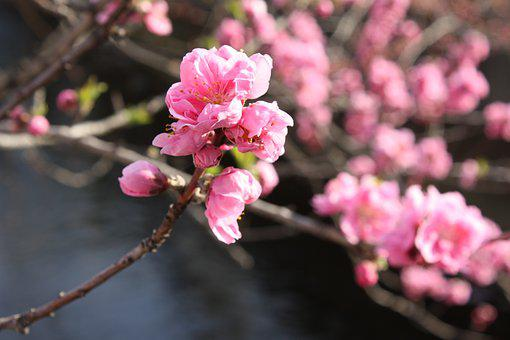 Peach Blossoms, Waterfront 花桃
