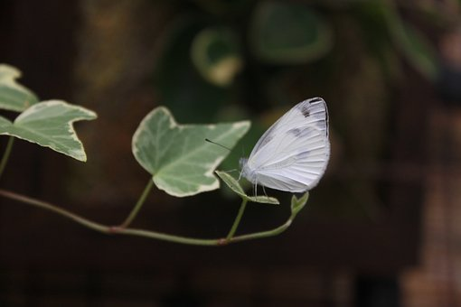 Butterfly, Insects, Nature, White Butterfly