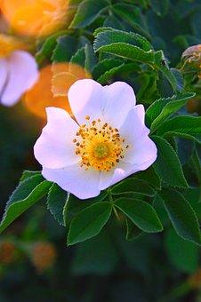 Rosehips, Flower, White Flower, Nature, Plant, Bush