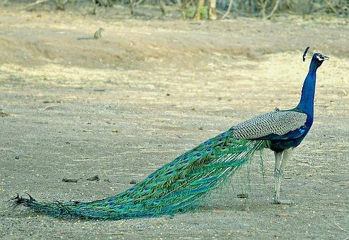 Peacock, Birds, Wildlife, India, Bharat, Nature
