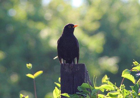 Bird, Blackbird, Natural, Summer, Outdoor, Have
