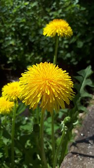 Dandelion, Flower, Yellow, Spring, Nature, Bloom