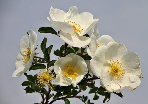 Wild, Roses, Bloom, Nature, Pink, Bush, Plant