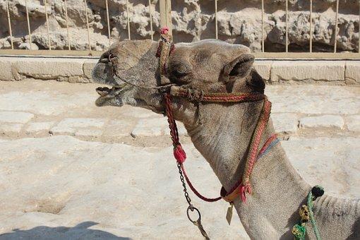 Camel, Desert, Egyptian Camel, Egypt, Shara, Dromedary