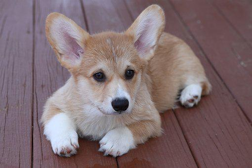 Puppy, Corgi, Dog, Canine, Small, Adorable, Mammal, Pet