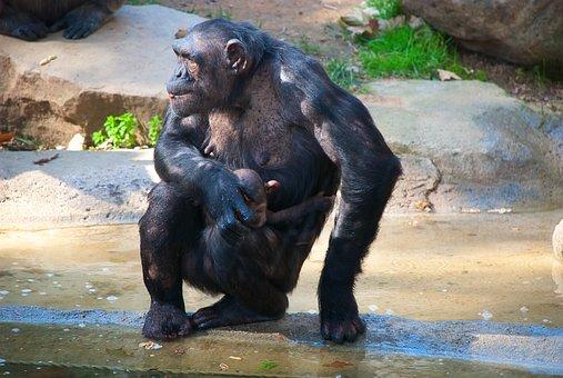 Chimpanzee, Mom, Sitting, The Cub
