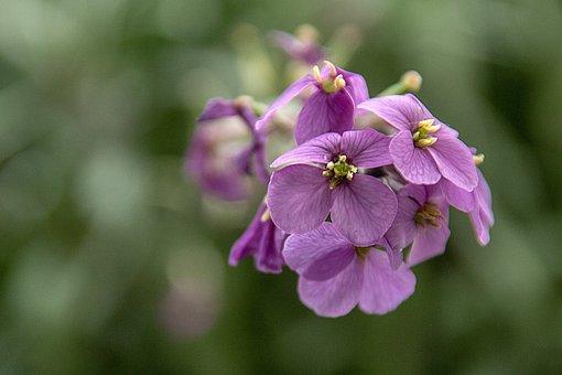 Purple Flower, Garden, Flower, Close