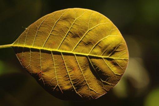 Leaf, Backlit, Backlight, Closeup, Nature, Plant, Veins