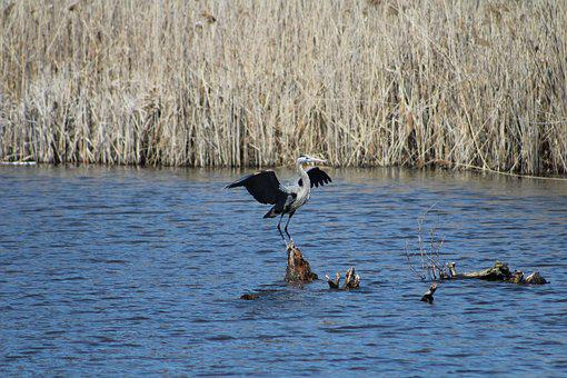 Bird, Landing, Wings, Flapping, Mid-landing, Stork