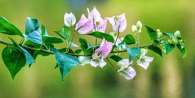 Bougainvillea, White, Pink, Delicate, Flower, Branch