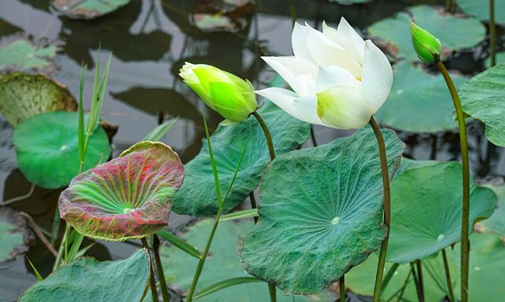 Indian, Lotus, Flower, Bud, Blooming, White, Aquatic