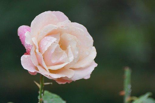 Pink, Light, Rose, Flower, Floral