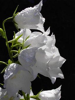 Flower, Bellflower, Morgentau, Frisch, Drop Of Water