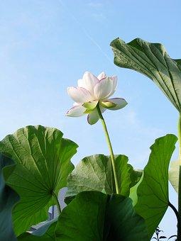 Lotus, Flower, Blossom, Plant, White, Bloom, Zen