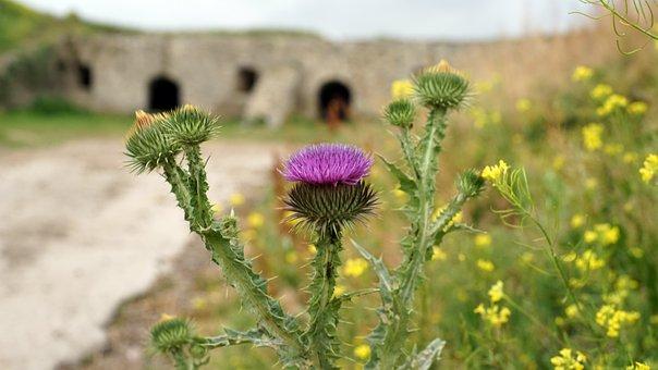 Thistle, Flower, The Castle Wall, Closeup, Plant