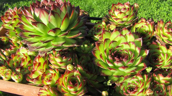 Succulent Plant, Flower, Fat Plants, Succulent, Flowers