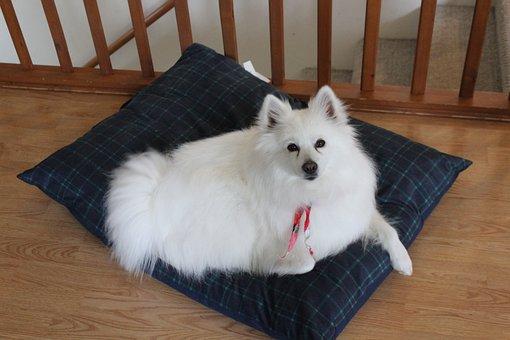 Eskimo, Dog, Spitz, Puppy, White, Fluffy, Cute, Animal