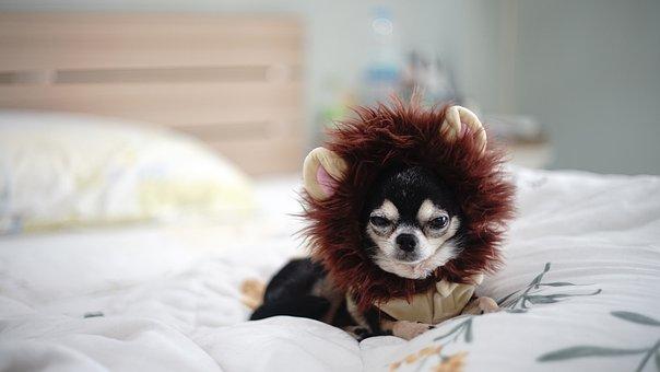 Chihuahua, Puppy, Dog, A, Pets, Free Dog, Dog Doll