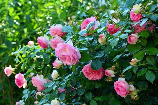 Roses, Rosebush, Flowers, Garden, Rose Bloom