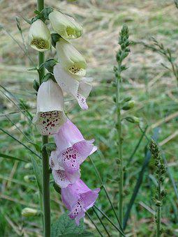 Thimble, Digitalis, Giftplanze, Digitalis Lutea