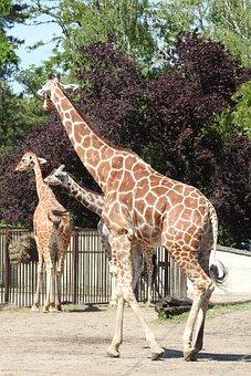 Giraffe, Africa, Safari, Silhouette Of A Giraffe