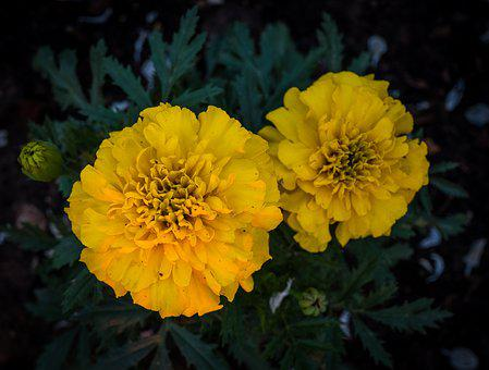 Yellow, Green, Marigold, Garden, Bloom, Flowers, Bed