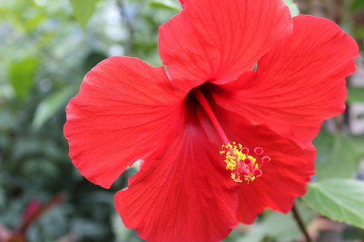 Hibiscus, Tropical, Flower, Floral, Hawaii, Garden