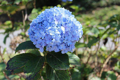 Hydrangea, Garden, Blue Flower, Colorful Flower, Lilaz