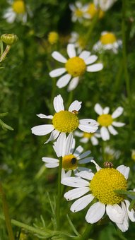 Chamomile, Flower, Medicinal Herb