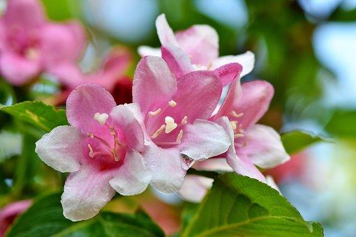 Jasmin, Jasmine Flower, Mock Orange, Ornamental Shrub