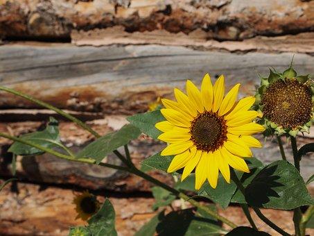 Sunflower, Rustic, Log Cabin, Wooden, Natural, Organic