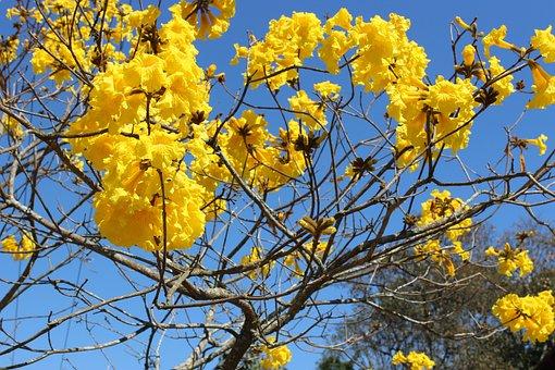Flowers, Yellow, Ipê, Nature, Yellow Flowers, Plant