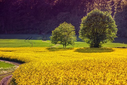 Landscape, Nature, Plant, Oilseed Rape