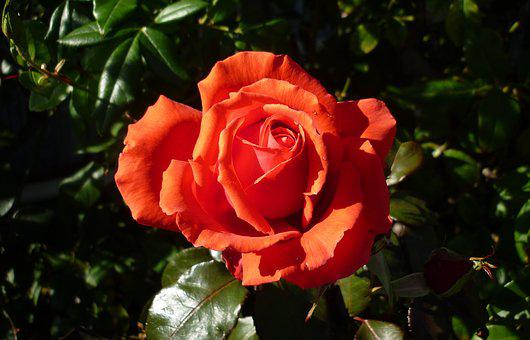 Flower, Rose, Garden, Nature, Orange