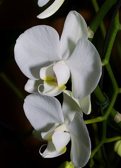 Orchid, Tropics, Blossom, Bloom, Butterfly Orchid