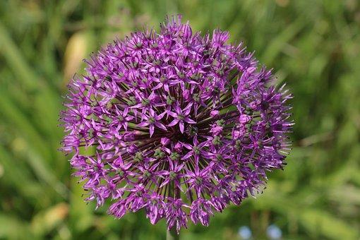 Ornamental Onion, Purple, Violet, Flower Ball