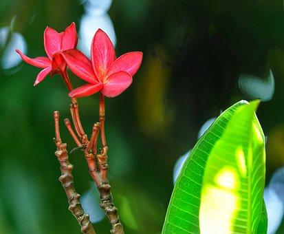 Plumeria, Red, Flora, Summer, Flower, Outdoors, Garden