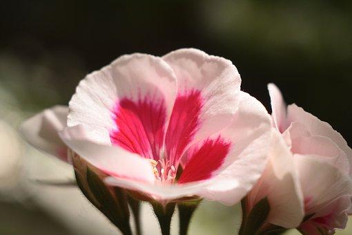 Flower, White, Red, Pink, Closeup, Petals, Geranium
