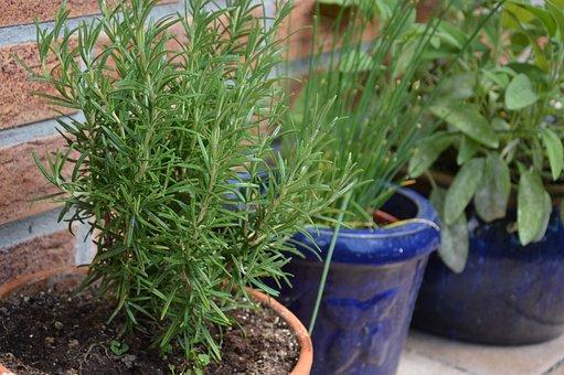 Plant, Herbs, Rosemary